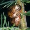 Peltoschema nigroconspersa