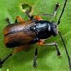 Aporocera viridipennis male