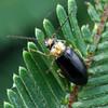 possible Monolepta sp.
