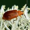 Aulacophora sp.