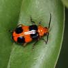 Aulacophora hilaris - Pumpkin Beetle