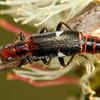 Lemidia maculicollis