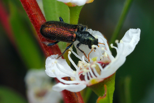 Unknown sp. (Phlogistus sp.?)