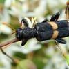 Eleale pulcher