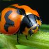 Coccinella transversalis - Transverse Ladybird