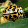 Cleobora mellyi - Southern Ladybird