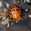 Epilachna vigintioctopunctata - 28-spot Ladybird