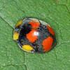 Epilachna guttatopustulata - Large Leaf-eating Ladybird