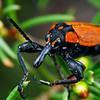 Rhinotia haemoptera