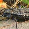Dialeptopus monachus