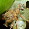 Eurychirus bituberculatus