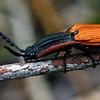 Elatichrosis trisulcatus