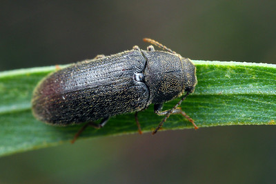 Eucnemidae - False Click Beetles