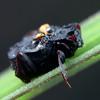Chlamydopsis sp.