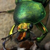 Lamprina aurata - Golden Stag Beetle - male