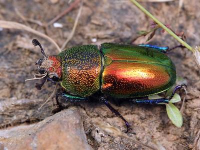 Lucanidae - Stag Beetles