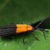 Trichalus semiatratus