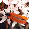 Porrostoma rhipidius