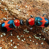Dicranolaius bellulus - Red and Blue Pollen Beetles