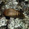 Trigonodera sp.