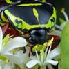 Eupoecila australasiae - Fiddler Beetle