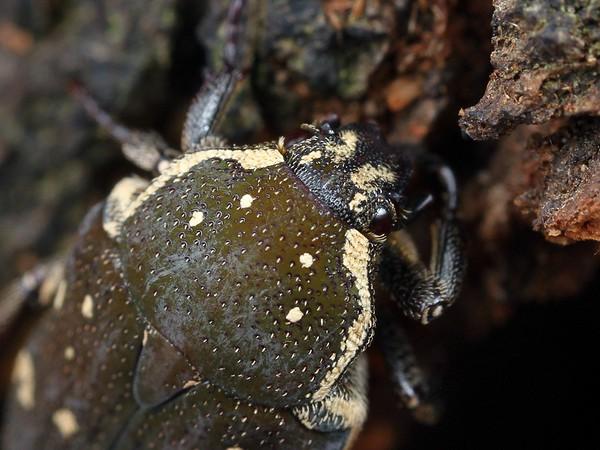 Glycyphana stolata - Brown Flower Beetle