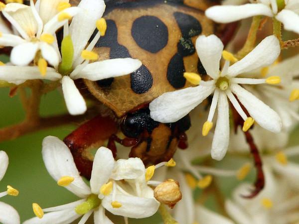 Neorrhina punctatum - Spotted Flower Chafer