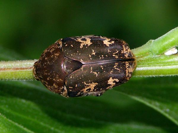 Protaetia fusca - Mango Flower Beetle