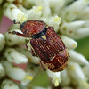 Microvalgus sp.