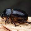 Dasygnathus trituberculatus