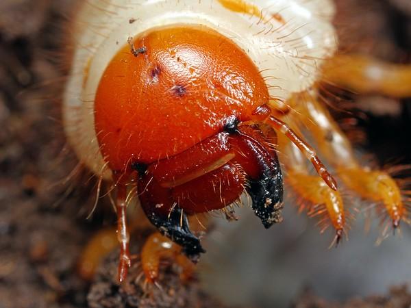 Unknown sp. larva
