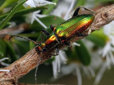subfamily Alleculinae
