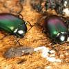 Chalcopteroides sp.
