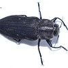 Merimna atra (Australian Fire-Beetle)
