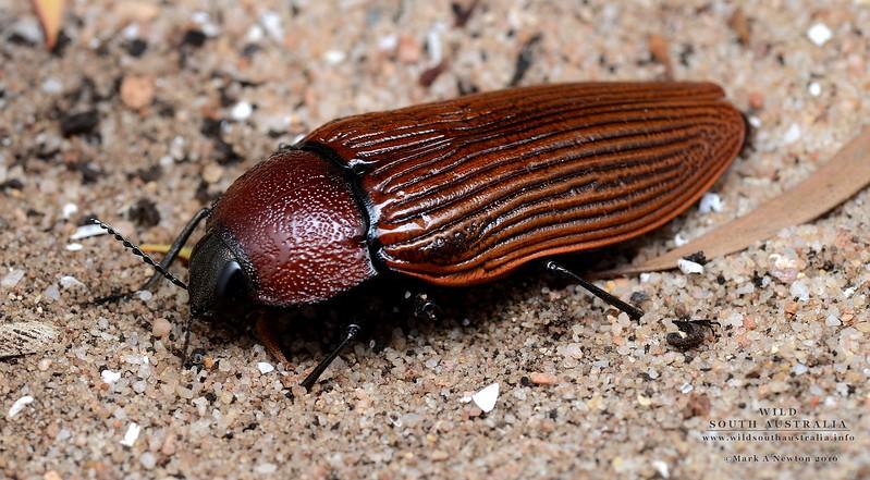 Temognatha parvicollis