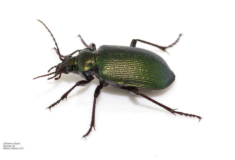 Calosoma schayeri