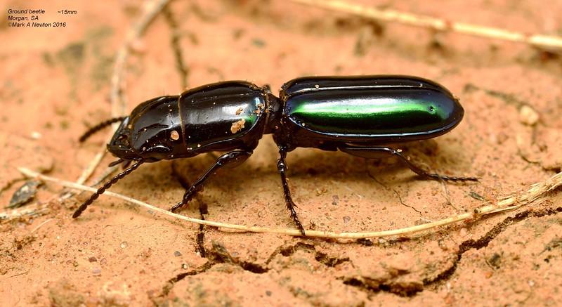 Carenum purpuratum