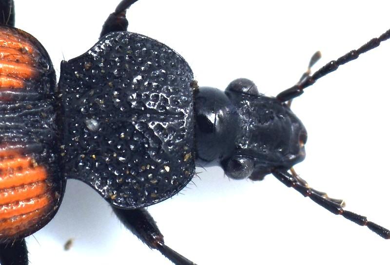 Craspedophorus australasiae