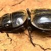 Euryscaphus obesus