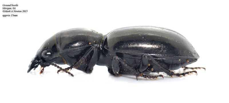 Parroa sp. (Broscinae)