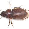 Unknown genus sp1 - Harpalinae  (12mm)