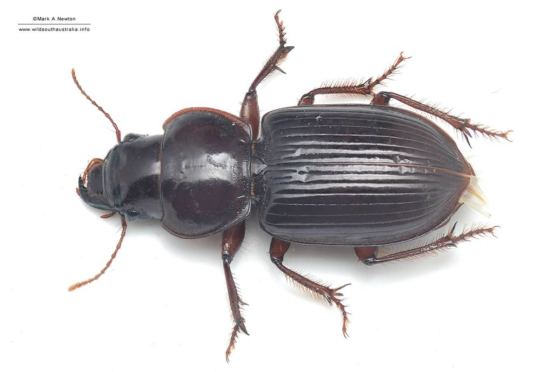 Unknown genus sp2 - Harpalinae  (23mm)  dorsal
