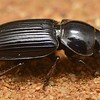 Phorticosomus sp. (Harpalinae)