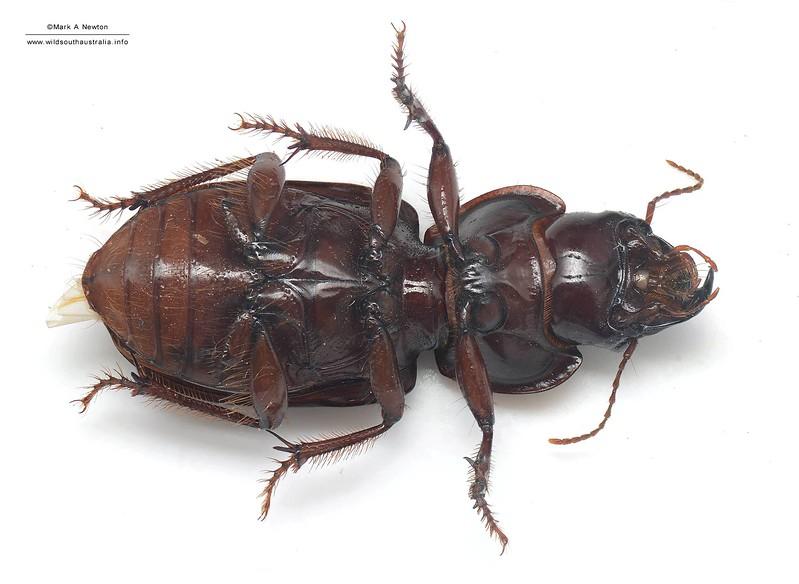 Unknown genus sp2 - Harpalinae  (23mm) ventral