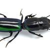 Predatory ground beetle