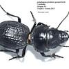 Philoscaphus sp. cf. costalis