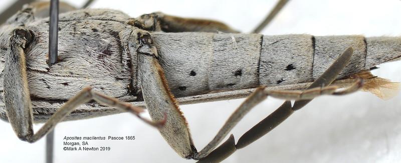 Aposites macilentus   (26mm)