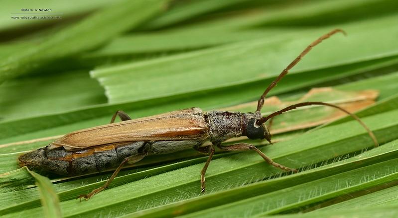 Aposites sp. cf. gracilis  (adult female)