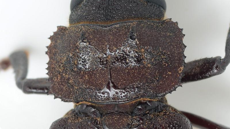 Eurynassa australis  (45mm body length)