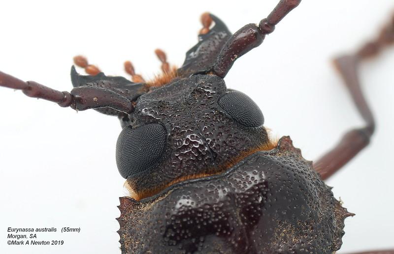 Eurynassa australis (55mm)